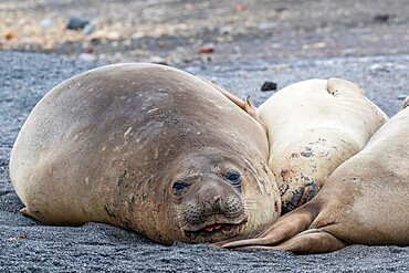 Southern elephant seals (Mirounga leonina), hauled out on the beach, Barrientos Island, Antarctica, Polar Regions