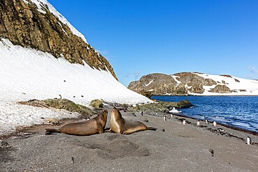 Southern elephant seals (Mirounga leonina) hauled out on the beach, Barrientos Island, Antarctica, Polar Regions