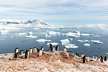 Gentoo penguin, Pygoscelis papua, breeding colony on Cuverville Island, Antarctica.