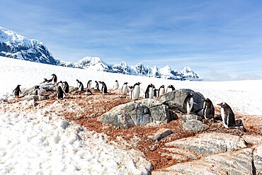 Gentoo penguin, Pygoscelis papua, breeding colony on Weincke Island, Naumeyer Channel, Antarctica.