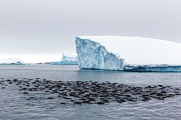 Large raft of gentoo penguins (Pygoscelis papua), group feeding at Booth Island, Antarctica, Polar Regions