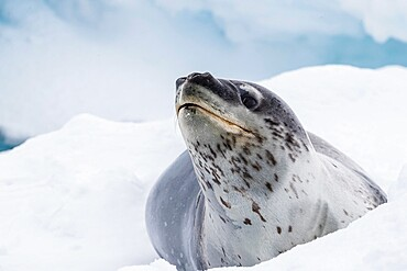An adult leopard seal, Hydrurga leptonyx, hauled out on ice near Booth Island, Antarctica.