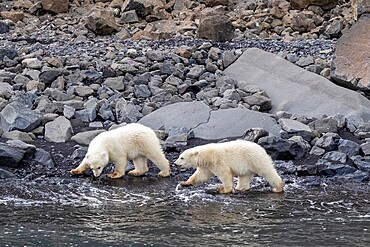 Polar bear cubs of the year (Ursus maritimus), foraging for food with mother nearby, Cape Brewster, Greenland, Polar Regions