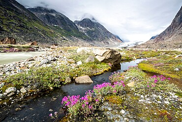 River beauties (dwarf fireweed) line the edge of a melt-water river from Igdlorssuit Glacier, Prins Christian Sund, Greenland, Polar Regions