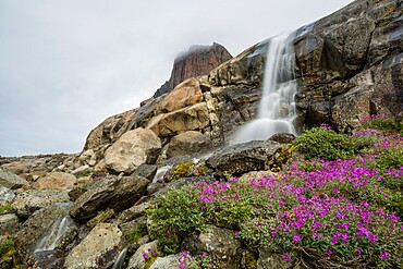 River beauties (dwarf fireweed) and a small waterfall from melt-water river from Igdlorssuit Glacier, Prins Christian Sund, Greenland, Polar Regions