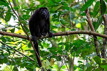 Adult mantled howler (Alouatta palliata), Barro Colorado Island, Gatun Lake, Panama, Central America