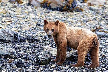 Young brown bear, Ursus arctos, foraging for invertebrates at low tide in Glacier Bay National Park, Alaska, USA.
