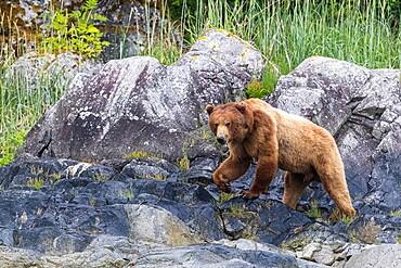 Adult brown bear (Ursus arctos), foraging at low tide in Glacier Bay National Park, Alaska, United States of America, North America