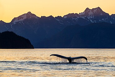 Adult humpback whale, Megaptera novaeangliae, flukes-up dive at sunset in Glacier Bay National Park, Alaska, USA.