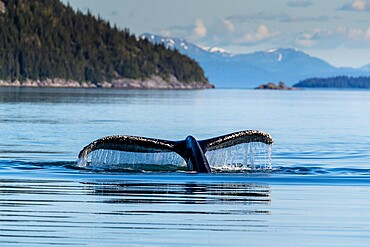 Adult humpback whale (Megaptera novaeangliae), flukes-up dive in Glacier Bay National Park, UNESCO World Heritage Site, Alaska, United States of America, North America