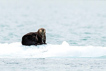 Adult female sea otter, Enhydra lutris, hauled out on ice in Glacier Bay National Park, Southeast Alaska, USA.