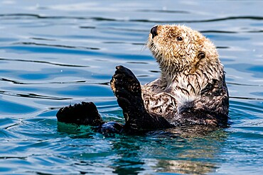 An adult sea otter, Enhydra lutris, swimming in Glacier Bay National Park, Southeast Alaska, USA.
