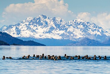 Sea otters (Enhydra lutris), in the Beardslee Island Group in Glacier Bay National Park, UNESCO World Heritage Site, Southeast Alaska, United States of America, North America