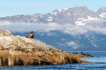 Steller sea lion (Eumetopias jubatus), haul out site, South Marble Islands, Glacier Bay National Park, UNESCO World Heritage Site, Alaska, United States of America, North America
