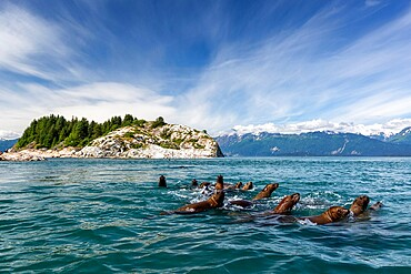 Curious Steller sea lions (Eumetopias jubatus), South Marble Islands, Glacier Bay National Park, UNESCO World Heritage Site, Alaska, United States of America, North America