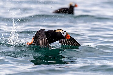 Tufted puffin (Fratercula cirrhata) taking flight at South Marble Island, Glacier Bay National Park, Alaska, United States of America, North America