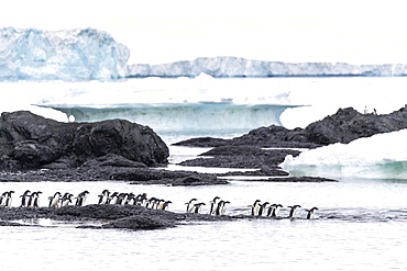 Adélie penguins, Pygoscelis adeliae, returning to sea from their breeding colony at Brown Bluff, Antarctica.