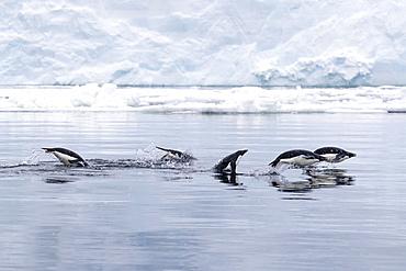 Adélie penguins, Pygoscelis adeliae, porpoising in the sea in Antarctic Sound, Trinity Peninsula, Antarctica.