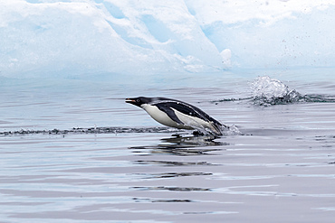 Adélie penguin, Pygoscelis adeliae, porpoising in the sea in Antarctic Sound, Trinity Peninsula, Antarctica.