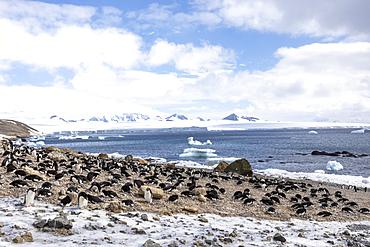 Adélie penguins, Pygoscelis adeliae, at their breeding colony at Brown Bluff, Antarctica.