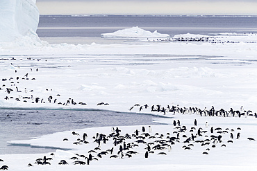 Adélie penguins, Pygoscelis adeliae, walking/tobogganing along the first year ice in Gerlache Strait, Antarctica.