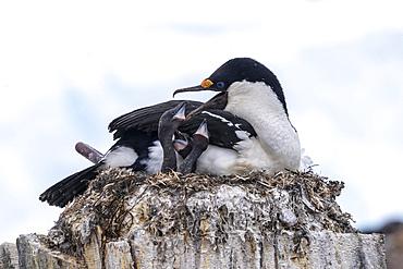 An adult Antarctic shag, Leucocarbo bransfieldensis, feeding chicks on Wiencke Island, Antarctica.