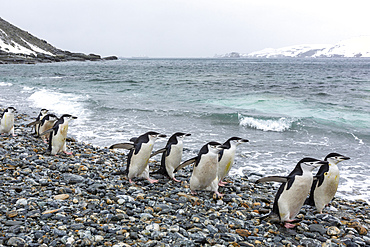 Chinstrap penguins, Pygoscelis antarcticus, on the beach at Coronation Island, South Orkney Islands, Antarctica.