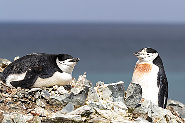 A pair of chinstrap penguins, Pygoscelis antarcticus, on Robert Island, South Shetland Islands, Antarctica.