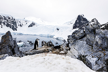 Chinstrap penguin, Pygoscelis antarcticus, nesting site high on the hill in Orne Harbor, Antarctica.