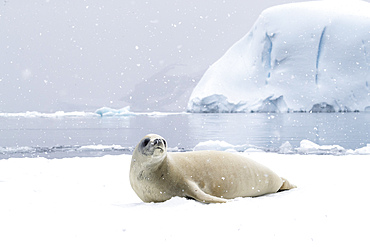 An adult crabeater seal, Lobodon carcinophaga, hauled out on the ice in Antarctic Sound, Weddell Sea, Antarctica.