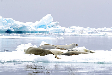 Adult crabeater seals, Lobodon carcinophaga, hauled out on the ice in Antarctic Sound, Weddell Sea, Antarctica.