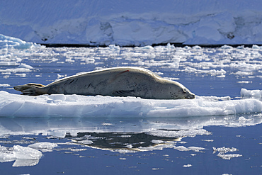An adult crabeater seal, Lobodon carcinophaga, hauled out on the ice in Paradise Bay, Antarctica.
