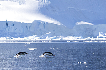 Adult gentoo penguins, Pygoscelis papua, porpoising in the sea to feed, Paradise Bay, Antarctica.