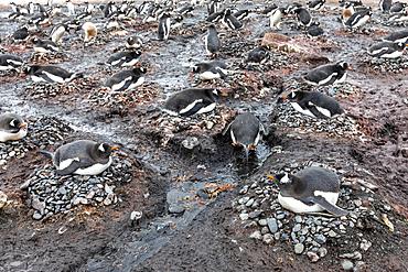 Adult gentoo penguins, Pygoscelis papua, on nests at Barrientos Island, South Shetland Islands, Antarctica.