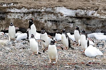 Adult gentoo penguins, Pygoscelis papua, walking on the beach in Neko Harbor, Antarctica.