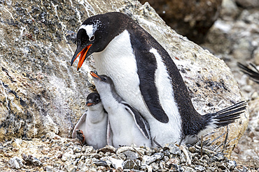 Adult gentoo penguin, Pygoscelis papua, feeding hungry chicks at Brown Bluff, Antarctica.