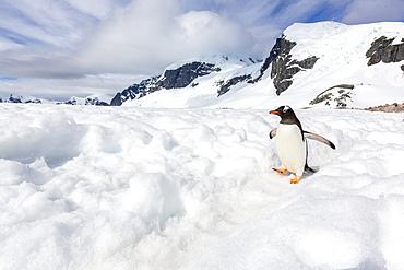 Adult gentoo penguin, Pygoscelis papua, walking on a penguin highway on Cuverville Island, Antarctica.