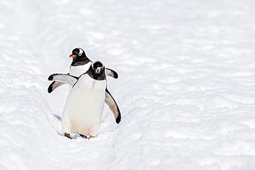 Adult gentoo penguins, Pygoscelis papua, walking on the penguin highway on Cuverville Island, Antarctica.