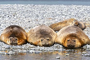 Adult male southern elephant seals, Mirounga leonina, hauled out on the beach at Robert Island, Antarctica.