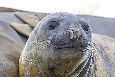 Adult southern elephant seals, Mirounga leonina, hauled out on the beach at Coronation Island, Antarctica.