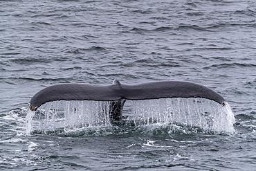 An adult humpback whale, Megaptera novaeangliae, flukes-up dive in Dallmann Bay, Antarctica.