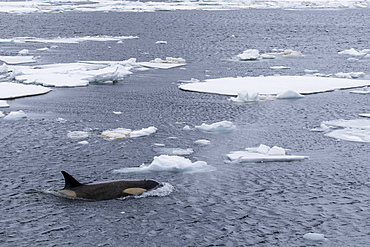 Ecotype Big B killer whale, Orcinus orca, surfacing amongst ice floes in Lemaire Channel, Antarctica.