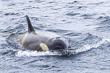 Ecotype Big B killer whale, Orcinus orca, surfacing in the Lemaire Channel, Antarctica.