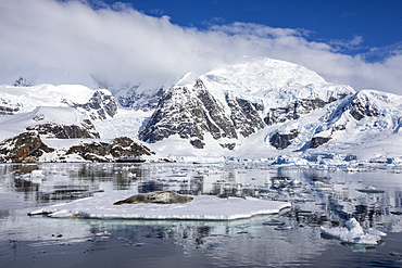An adult leopard seal, Hydrurga leptonyx, hauled out on an ice floe in Paradise Bay, Antarctica.