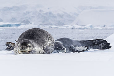 A mother leopard seal, Hydrurga leptonyx, hauled out on ice floe with her newborn pup, Paradise Bay, Antarctica.