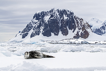 An adult leopard seal, Hydrurga leptonyx, hauled out on an ice floe at Booth Island, Antarctica.