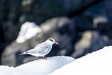 Adult, non-breeding Arctic tern, Sterna paradisaea, on ice in Paradise Bay, Antarctica.
