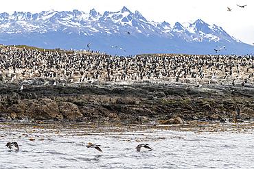 Imperial shag, Leucocarbo atriceps, breeding colony on small offshore islets near Ushuaia, Argentina.