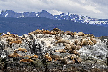 An adult male South American sea lion, Otaria flavescens, resting amongst adult females near Ushuaia, Argentina.