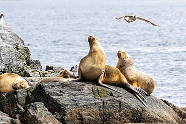 Adult female South American sea lions, Otaria flavescens, hauled out on a small islet near Ushuaia, Argentina.